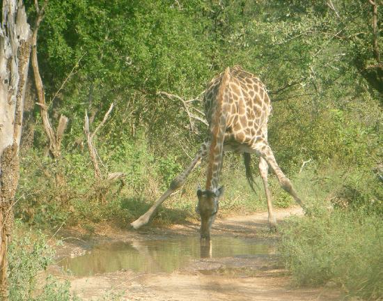 Baluleni Safari Lodge : Road block