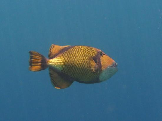 Ellaidhoo Maldives by Cinnamon: Titan trigger fish