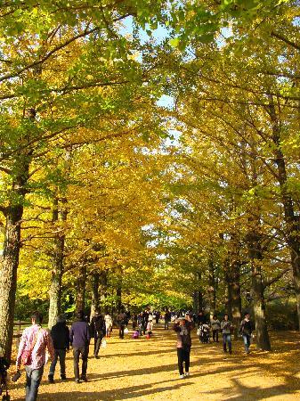 Tachikawa, ญี่ปุ่น: いちょう並木はきれい!