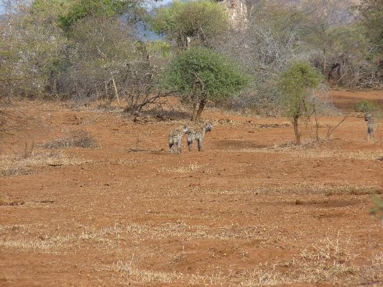 Pafuri River Camp: hyena's