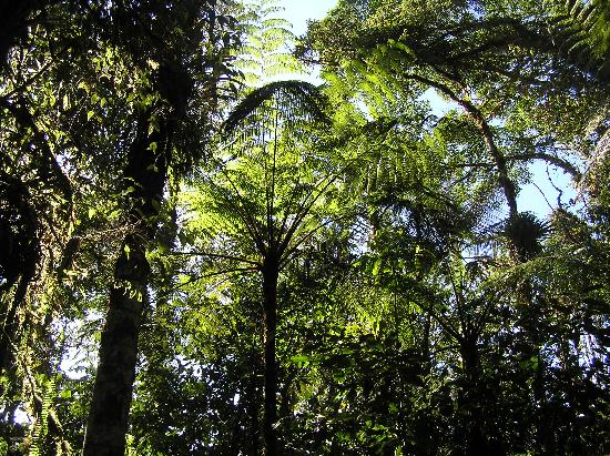 Cabanas San Isidro: Tree ferns in cloud forest at San Isidro
