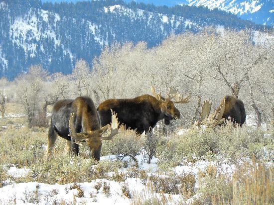 Amangani: Moose