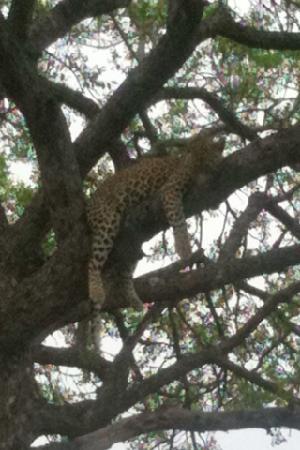 andBeyond Ngala Safari Lodge: Leopard happy with facilities