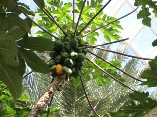 Yamanashi, Japonya: 温室内の南国フルーツ