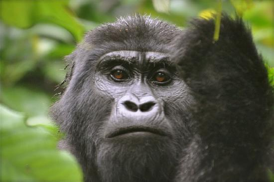 Bwindi Impenetrable National Park : She was looking right at me...