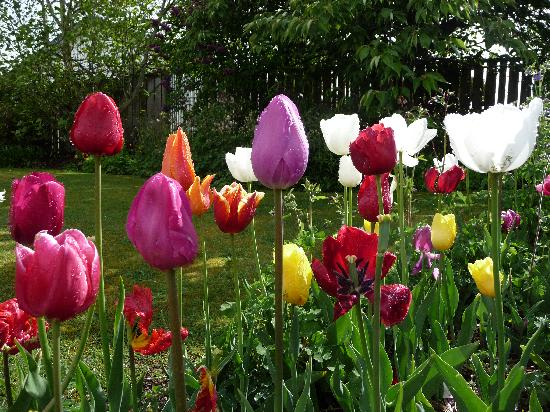 Blue Ridge Boutique Accommodation: Tulips in the garden