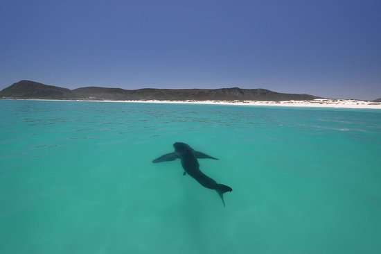 Marine Dynamics: A Gansbaai great white peacefully swimming in the shallows