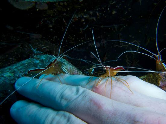 Amed, อินโดนีเซีย: Cleaner shrimp doing their thing