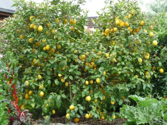 Stonehaven Homestay: Luscious lemon trees in Stonehaven garden