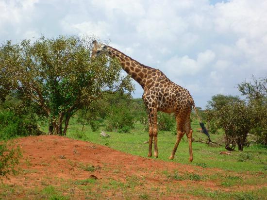 Garoda Resort: Giraffa nel parco Tsavo Est