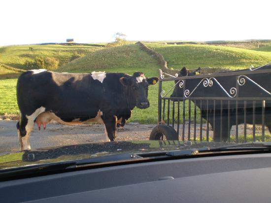 Cattle at Oxnop Hall