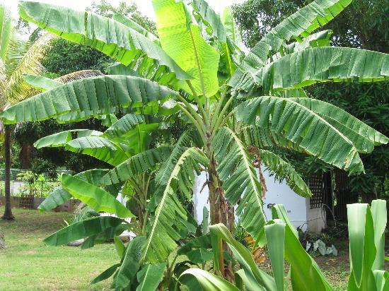 Coco Loco Guesthouse: Banana tree in yard
