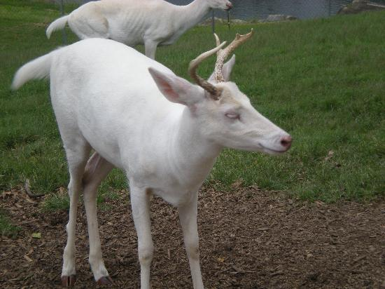 Oregon Dairy Country Restaurant : Albino deer