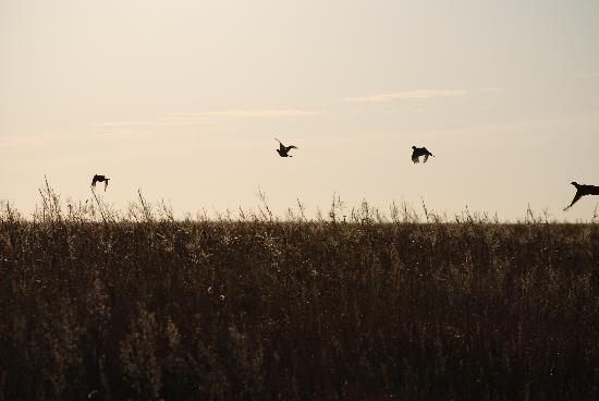 Lynn Lake Lodge: Evening pheasants.