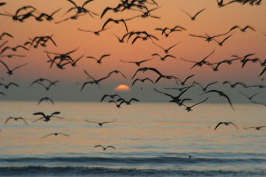 Siesta Key, FL: Sandpipers in flight