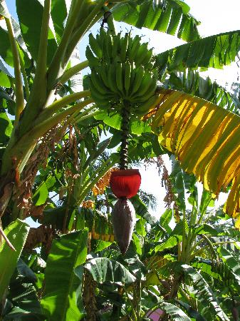 Banans growing on resort grounds