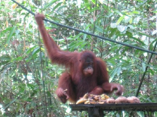 An Orang Utan feeding