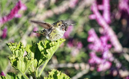 Country Garden Inns: wonderful anna's hummingbird