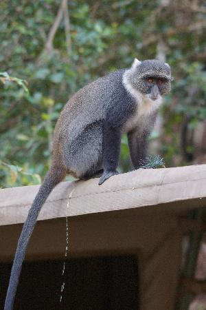 Nairobi Tented Camp: Sykes Monkey passes judgement on my tent