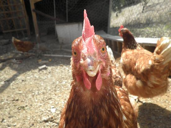 Casa Colina: Gwendoline.....one of our chickens