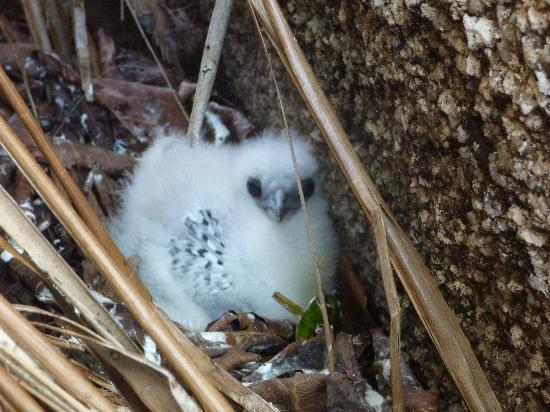 La Passe, Seychellen: bébé oiseau à Félicité Island