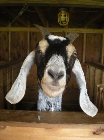 Quill Haven Country Inn: Goat