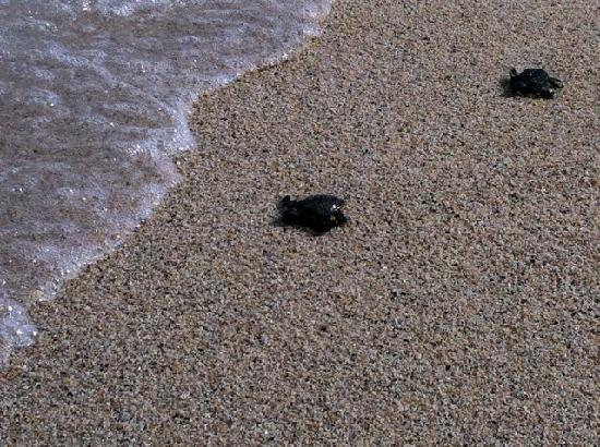 Hotel Buena Vista Beach Resort: baby turtles making their way to the sea