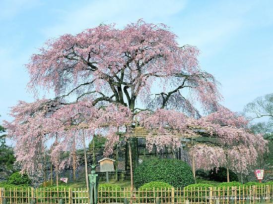 Hotel Darshan: pink tree