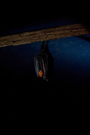 The Bat Jungle: bat enjoying some fruit