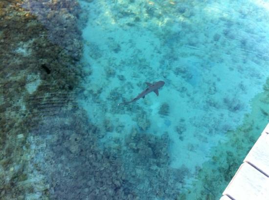 L'Escapade Island Resort: requin