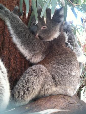 Caversham Wildlife Park: koala ... you can stroke the back with the back of your palm.