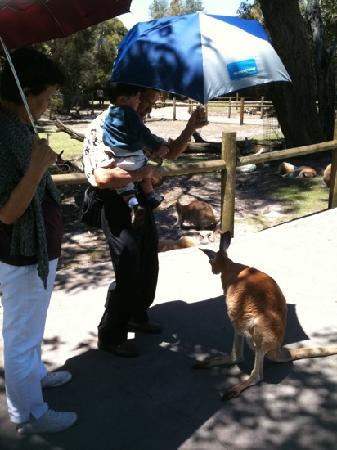 Caversham Wildlife Park: walking with kangaroo