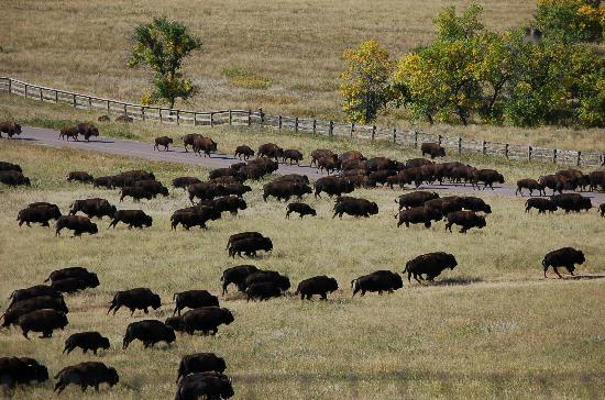 Custer State Park: Buffalo headed for the corral