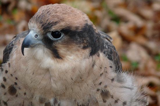 Talons Private Hawk Walk: Lanner falcon