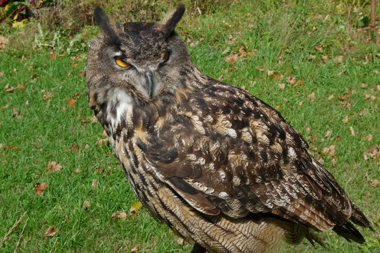 Earlville, NY: Eagle Owl