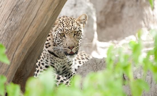 Linyanti Reserve, Botswana: One year old girl starting life on her own