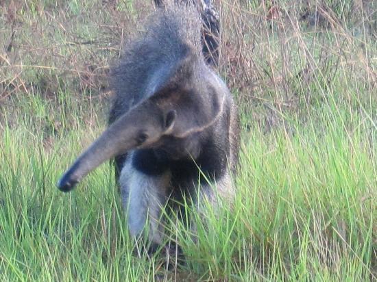 Karanambu Lodge (Ranch): Giant Anteater