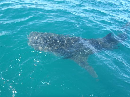 Las Gaviotas Resort: Whale Shark