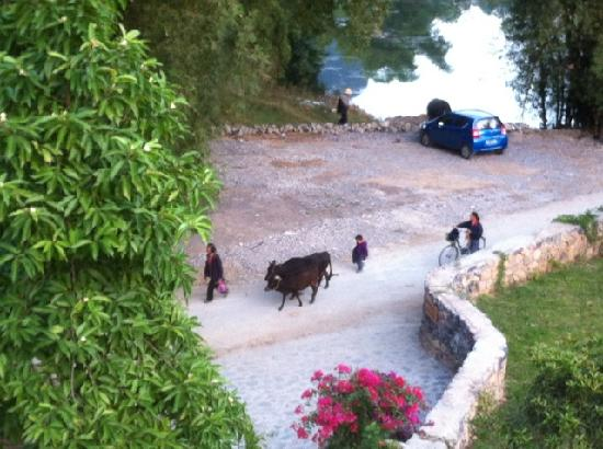 Moondance Boutique Resort : Cattle coming home at night