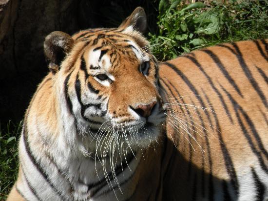 Canberra, Australien: Bengal Tiger