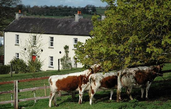 Lough Bishop House: Irish Moiled Cattle
