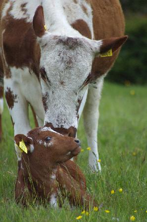Lough Bishop House: Our Irish Moiled cow with calf