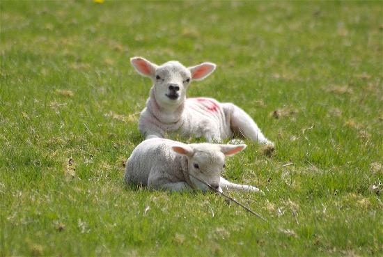 Lough Bishop House: Lambs resting in the sunshine