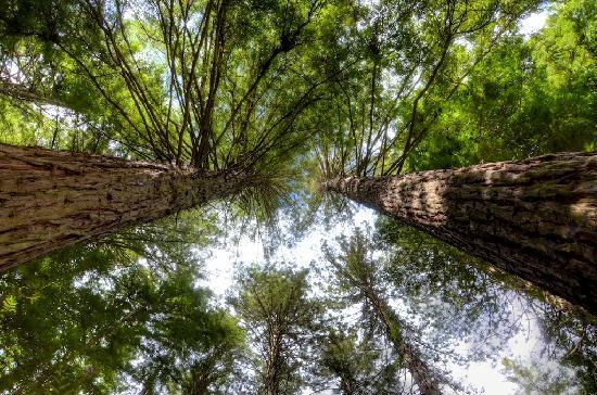 Redwoods, Whakarewarewa Forest: Towering overhead