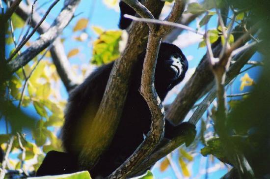 Giardini di Papagayo Hotel: Howler monkey at the hotel