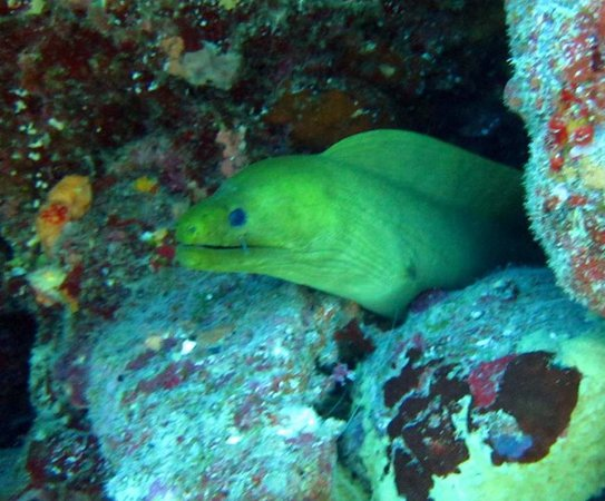Ilhas Virgens Britânicas: Green Moray at Blonde Rock