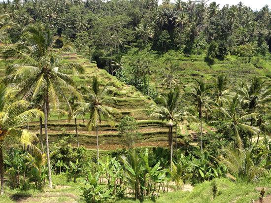 Tegalalang Rice Terrace Photo