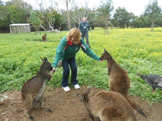 Parndana Wildlife Park: Kangaroo feeding