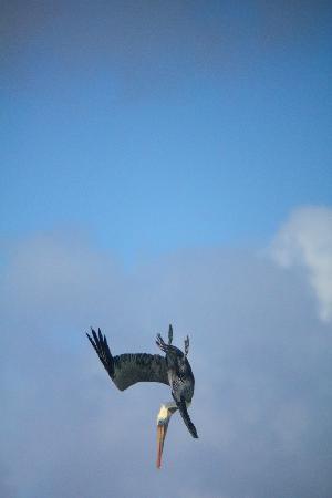 Melia Buenavista: Pelicans