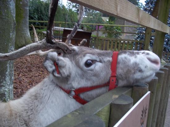 Center Parcs Longleat Forest: Cute reindeers